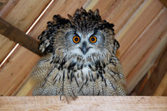 Wild birds of Siberia. The Siberian eagle owl. Russia. Western Siberia. The Siberian owl royalty free stock images