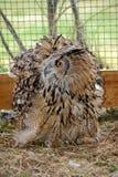 Wild birds of Siberia. The Siberian eagle owl. Stock Photo