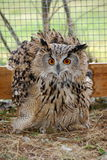 Wild birds of Siberia. The Siberian eagle owl. Stock Photos