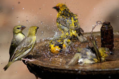 Wild birds splashing in a bird bath. Small group of wild birds splashing in a bird bath spraying water in all directions Stock Image