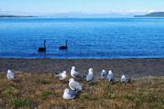 Wild birds and Taupo Royalty Free Stock Image