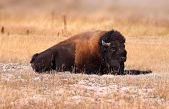 Wild Bison Royalty Free Stock Images