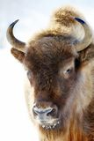 Wild bison Royalty Free Stock Photo