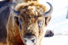 Wild bison Stock Photo