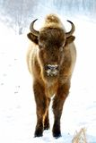 Wild bison Royalty Free Stock Image