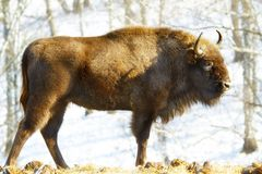 Wild bison Royalty Free Stock Photos