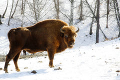Wild bison Royalty Free Stock Photography