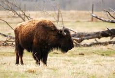 Wild bison Stock Photos