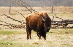 Wild bison. Wandering in meadowland in spring, elk island national park, alberta, canada Stock Photos