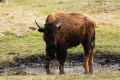 Wild bison Stock Image
