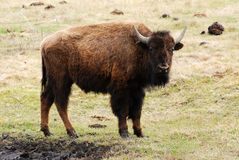 Wild bison. Wandering in meadowland in spring, elk island national park, alberta, canada Royalty Free Stock Photo