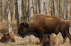 Wild bison. Wandering in meadowland in spring, elk island national park, alberta, canada Royalty Free Stock Images
