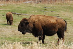Wild bison. Wandering in meadowland in spring, elk island national park, alberta, canada Royalty Free Stock Image
