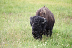Wild bison with bird Stock Image