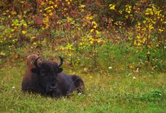 Wild bison resting Stock Photography