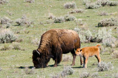 Wild Bison Buffalo Cow and Calf. This is an image of a bison cow and young rusty colored calf.  The cow is grazing and the calf is looking around at its new Stock Photos