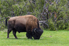 Wild bison buffalo grazing - Yellowstone National Park - mountai Stock Images