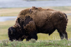 Wild bison buffalo grazing - Yellowstone National Park - mountai Stock Photography