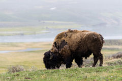 Wild bison buffalo grazing - Yellowstone National Park - mountai Royalty Free Stock Image