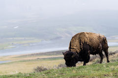 wild bison buffalo grazing - Yellowstone National Park - mountain wildlife stock photo