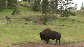 Wild Bison. Or buffalo in Yellowstone National Park (USA
