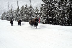 Wild Bison Buffalo in Yellowstone-Park Stock Afbeelding