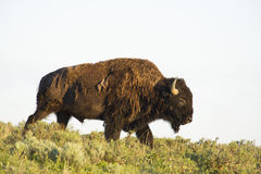 Wild Bison crossing a hill. Royalty Free Stock Images