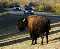 Wild bison in elk island national park Royalty Free Stock Photography