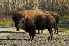 Wild bison in elk island national park Royalty Free Stock Photos