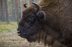 Wild bison on feeding. Stock Photography