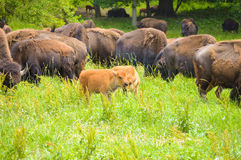 A herd of wild bison grazing in the field. Wild bison grazing in the field Royalty Free Stock Photo