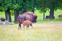 A herd of wild bison grazing in the field. Wild bison grazing in the field Stock Photography
