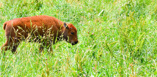 A herd of wild bison grazing in the field Royalty Free Stock Images