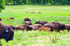 A herd of wild bison grazing in the field Stock Image