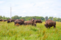 A herd of wild bison grazing in the field Royalty Free Stock Photos
