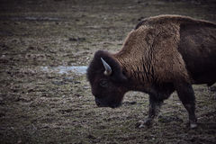 Wild bison grazing grass Royalty Free Stock Photo