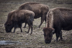 Wild bison grazing grass Royalty Free Stock Images