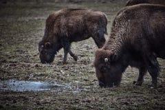 Wild bison grazing grass Stock Photos