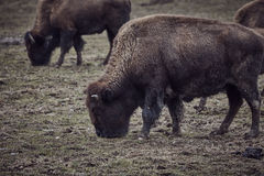 Wild bison grazing grass Royalty Free Stock Photos