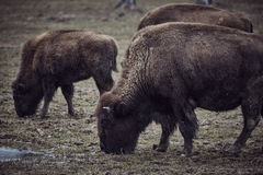 Wild bison grazing grass Stock Images