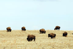Wild bison herd Royalty Free Stock Photography