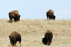 Wild bison herd Stock Photo