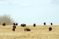 Wild bison herd Stock Image