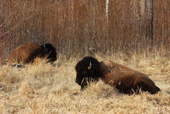 Wild bison herd Royalty Free Stock Images
