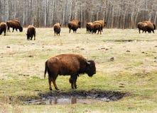 Wild bison herd Stock Image