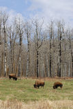 Wild bison herd Stock Images