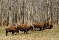 Wild bison herd Stock Photos