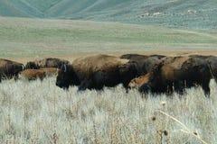 Wild bison herd. With calves, Antelope Island, Utah Royalty Free Stock Image