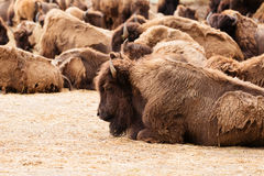 WILD BISON HERD Royalty Free Stock Photos