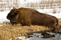 Wild bison knocked over by car Royalty Free Stock Photography